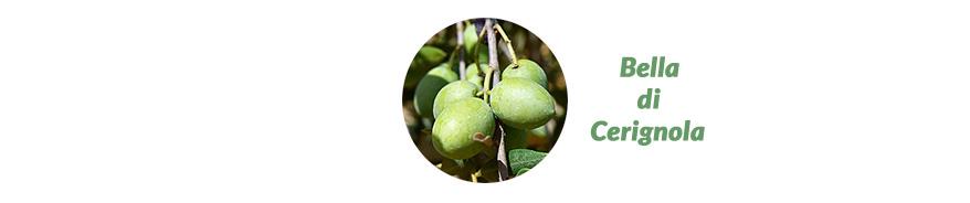 Oliven Bella di Cerignola Apulien Italien