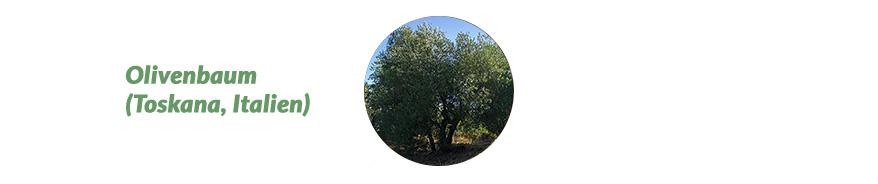 Olivenbaum Toskana Italien
